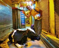 Sacred Cow in Delhii storage