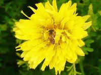 Bee hiding in dandelion