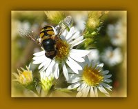 Bee on small daisy2