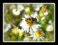 Bee on small daisy3