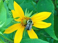 Bee on yellow flower4