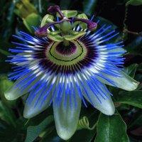 Flor de la pasion
