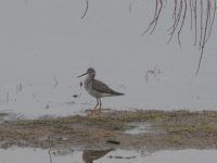 Sandpiper at edge of spring swamp