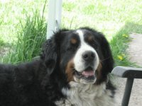 Bernese Mountain Dog named Bear