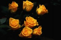 yellow and black roses