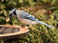 Blue Jay Eating Peanuts_Alberta, Canada