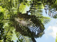 Tree Fern, NZ