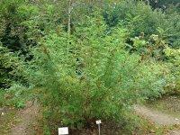Lakritsrotplantan