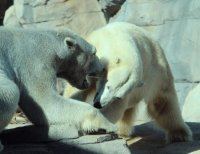 Kansas City Polar Bears