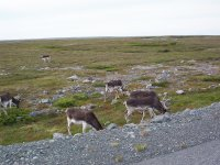Caribou on the Southern Shore of Newfoundland