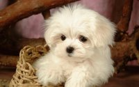 lovely white puppy