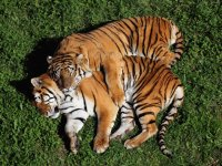 Tigers snugging