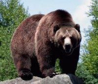 Grizzlybjörn