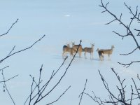 Deer crossing the Miramichi River