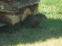 Groundhog in the woodpile