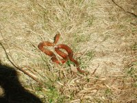 Red snake on the path in Miramichi