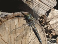Dragonfly on the woodpile