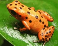 Frog orange polka dot