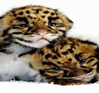 LEOPARDITOS
