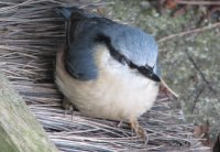 Nuthatch, UK