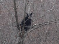 Black bear in tree in Napan