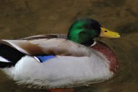mallard duck dollywood tn