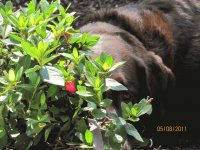 Chocolate Lab in Rose Bushes